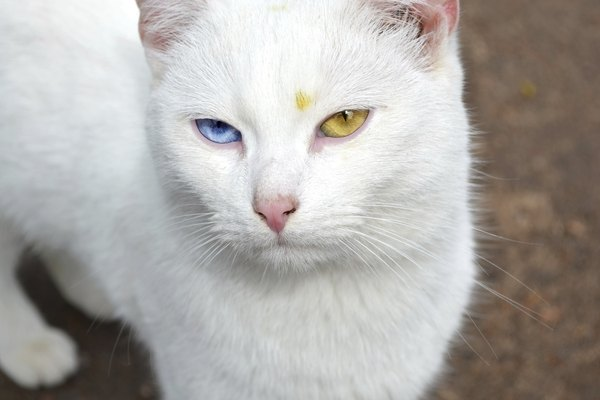 White cat with eyes of different color