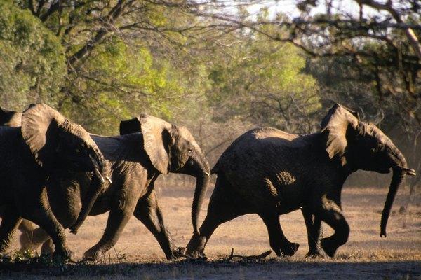 El elefante africano es el mayor elefante del mundo.