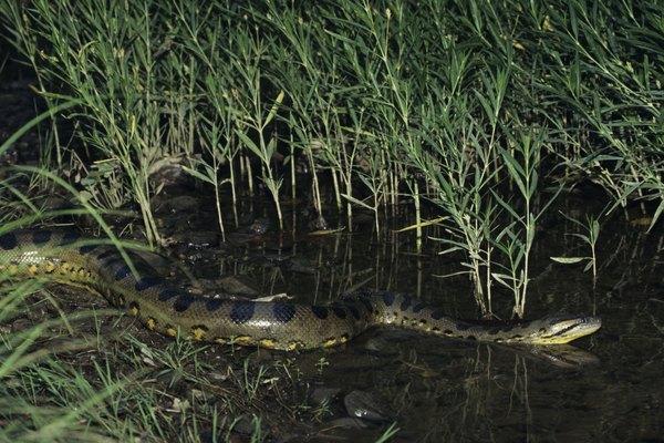 Las anacondas son serpientes grandes y no venenosas que tragan a su presa completa.