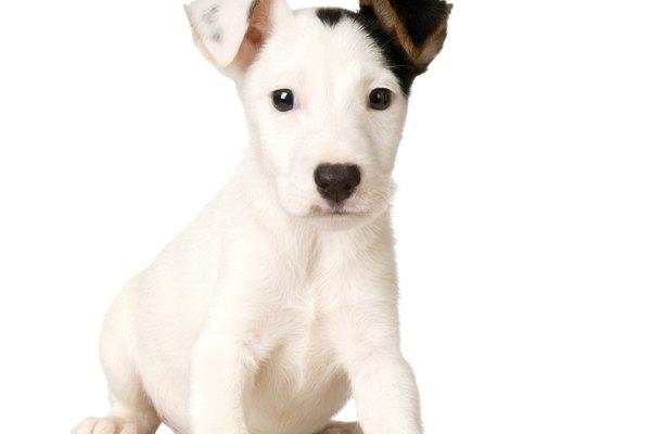 La perra debe dejar de lactar de forma natural dentro de 45 días después de que los cachorros son destetados.