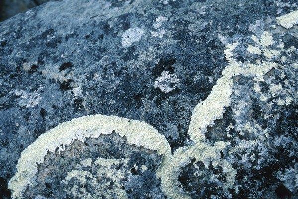 El alga se alimenta del hongo y el hongo protege al alga.
