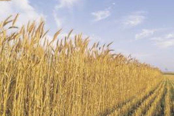 Los mercados de productos básicos como el trigo, son ejemplos de sistemas de mercado que se acercan al modelo de competencia perfecta.