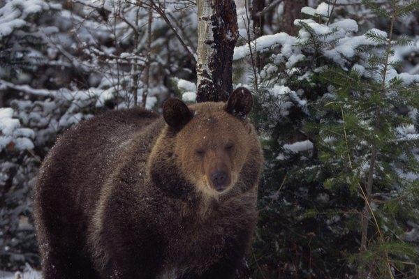 El animal más famoso que hiberna es el oso, aunque hay contención sobre si los osos son verdaderamente hibernadores.