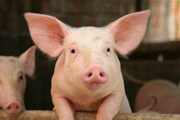 Un cerdo inclinado sobre una barandilla.
