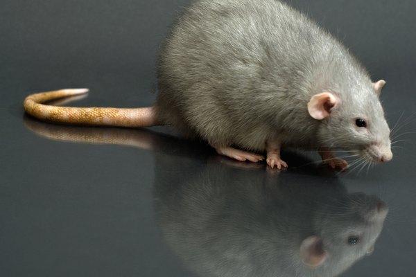 Busca ratas o agujeros de ratas en tu patio.