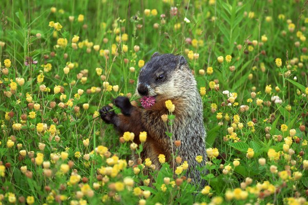 Las marmotas a menudo son consideradas plagas en los alrededores de las casas.