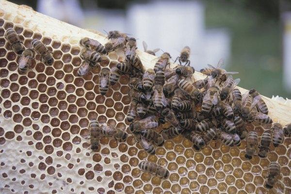 Ordena tus abejas de miel.