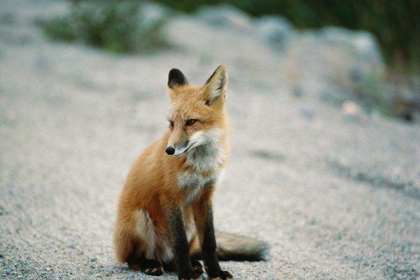 Los zorros son animales pequeños que cavan bajo túneles, puertas y jardines.