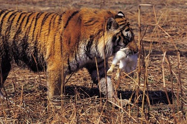Tigre comiendo.
