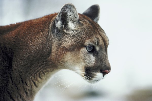 Wary cougar