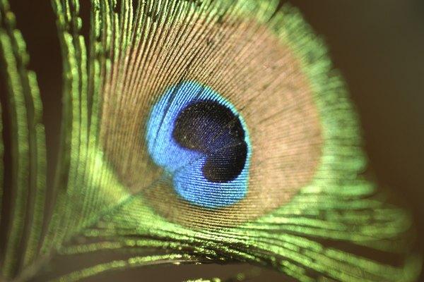 Acercamiento de una pluma de pavo real.