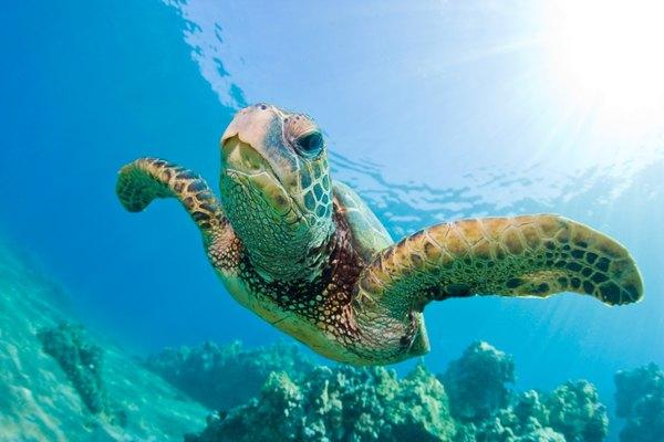 Una tortuga nadando en un arrecife de coral.