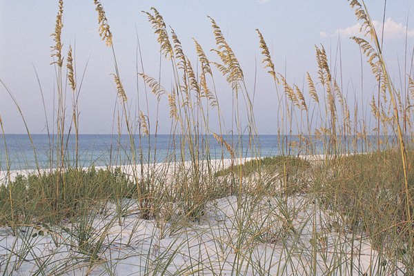 Sea oats , Pensacola Beach , Florida
