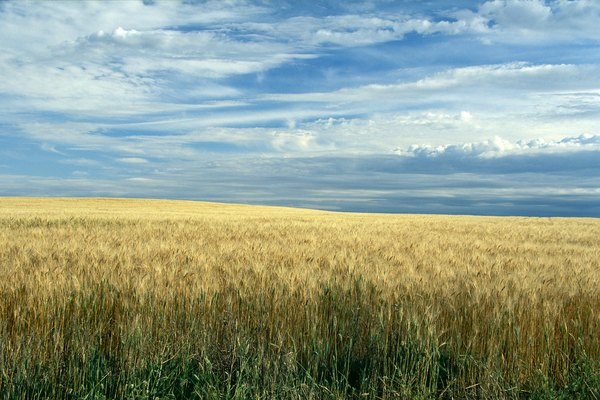 Wheat field, North Dakota