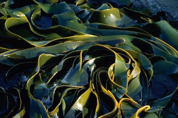 Algas marinas.