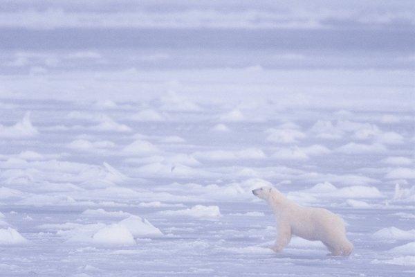 Las temperaturas cálidas reducen la cantidad de hielo en la cual los osos polares pueden cazar.