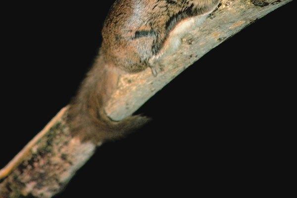 Las ardillas voladoras se alimentan de noche.