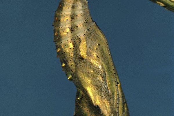 Las orugas que se envuelven en capullos se transformarán físicamente en mariposas dentro de unos días.