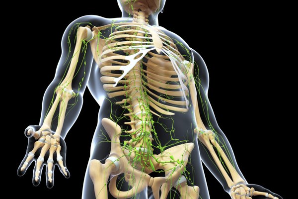 lymphatic system of male skeleton