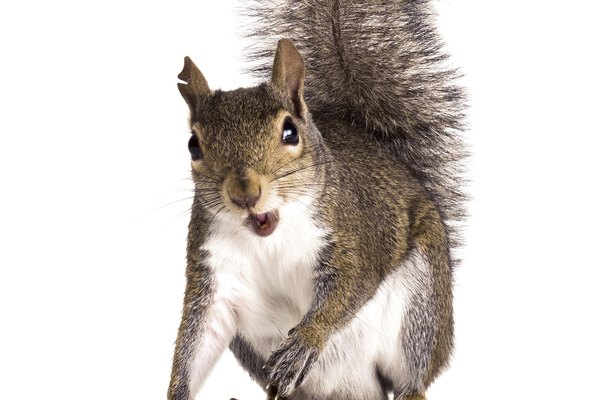Old male American gray squirrel with torn ears