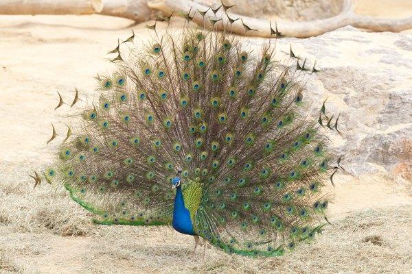 Despliegue de la cola del pavo real macho.