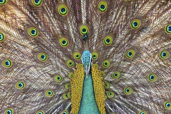 Los pavo reales verdes pueden localizarse en Burma, Tailandia, Indochina, Malaya y Java.