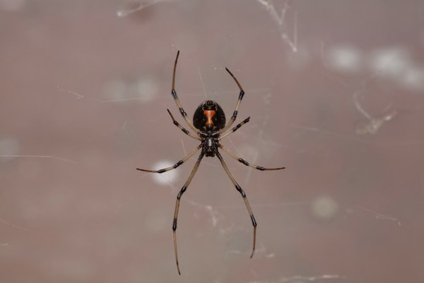 Immature Female Black Widow