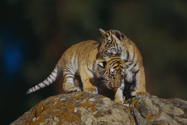 Bengal Tiger Cubs on Rocks