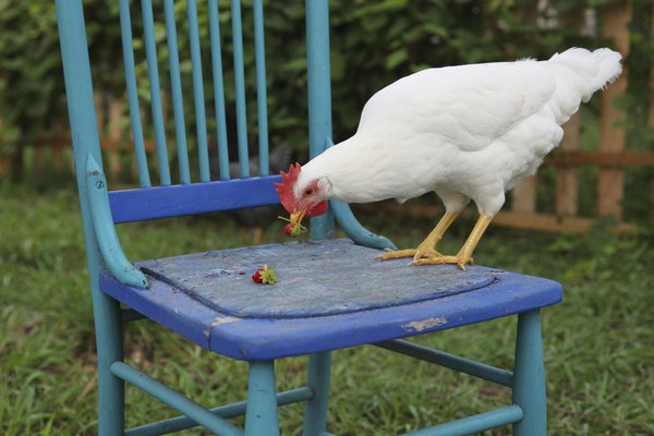 backyard chicken perched on right side of chair