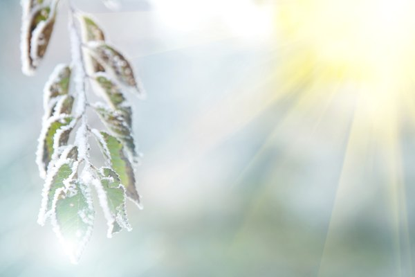 background of frozen leaves under the frost and sun