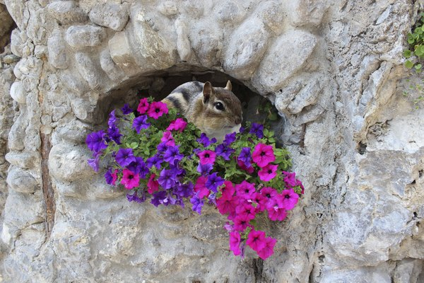 Chipmunk Peering out of Hole in a Rock Wall