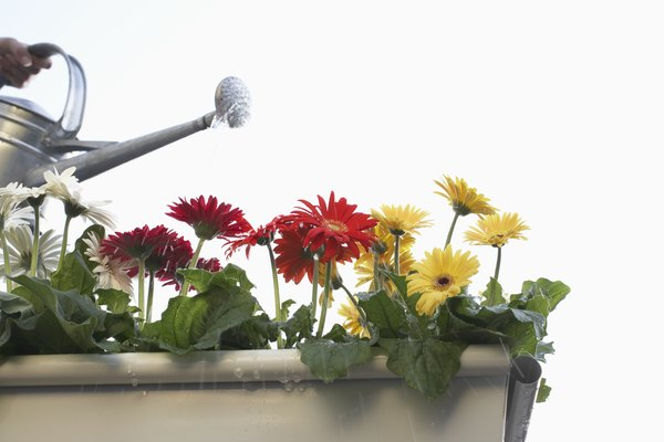 Unrecognizable person watering gerbera flowers in pot, close-up
