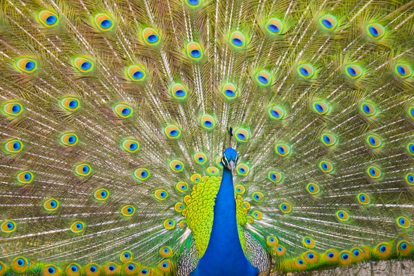 Peacock With Tail Out