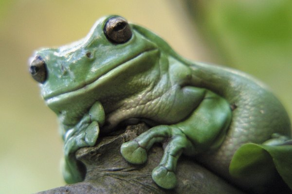 A green tree frog.