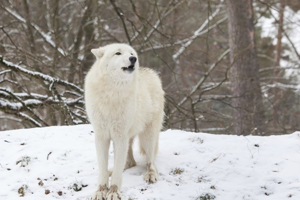 howling arctic wolf
