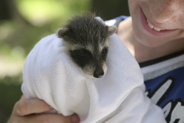 Rescued Raccoon Baby