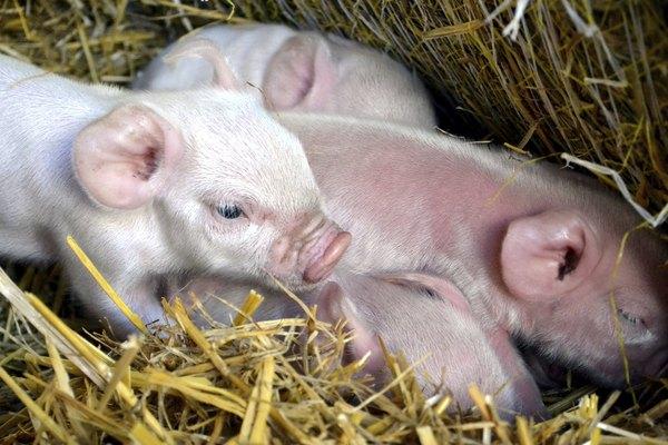 Lechones recién nacidos.