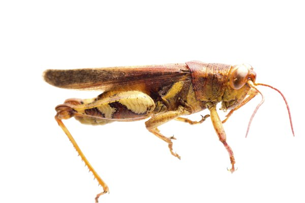 insect grasshopper locust