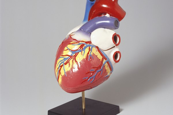 Medical heart model