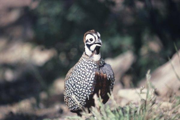 Las codornices son aves pequeñas que pueden ser convenientemente criadas en el jardín de tu casa.