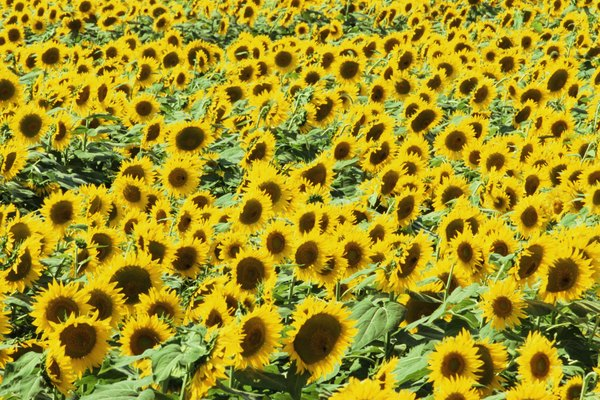 Field of sunflowers (Helianthus sp.)