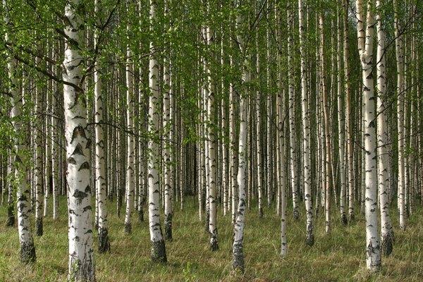 El abedul crece con raíces poco profundas y se vuelve latente durante el invierno, por lo que sobrevive bien en suelos arenosos y climas duros.