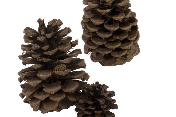Las iñas de pino pueden abrirse con calor para usarlas en artesanías.