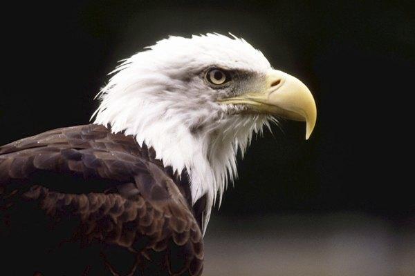Lo que esto significa para la vista de águila es que puedes ver más, porque su campo de visión es grande.