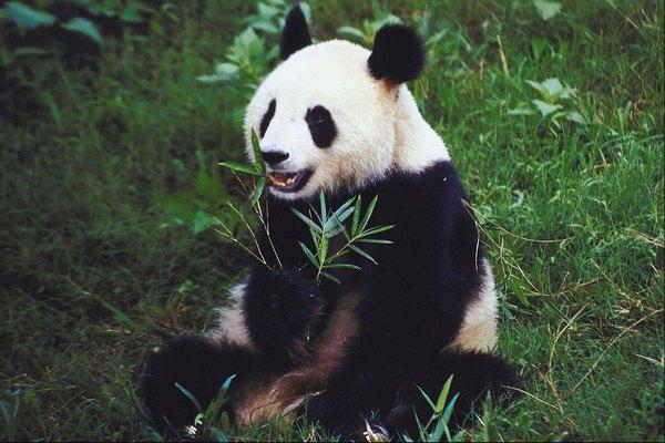 El zoológico de San Diego exhibe la colección más grande de pandas gigantes fuera de China.