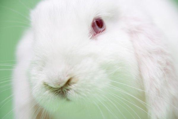 Los ojos rojos y el pelaje blanco es considerado como una mutación entre las especies de conejos.