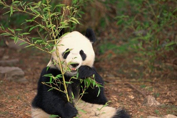 Los pandas gigantes necesitan bambú con el fin de sobrevivir en cautividad como en la naturaleza.