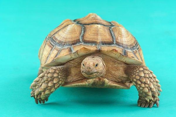El comportamiento tortuga de tierra puede sorprenderte.