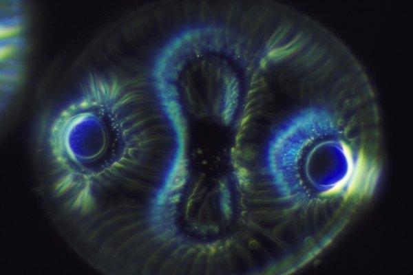 En contraste, las algas se reproducen sólo asexualmente mediante la fragmentación o división celular.