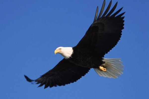 Mientras que las personas no pueden mirar directo al sol, las águilas calvas pueden, gracias a su segundo párpado y sus cejas.